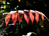 Very Cool Red Leaf