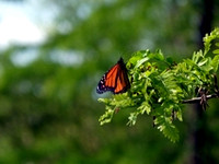 May Butterflys (7)