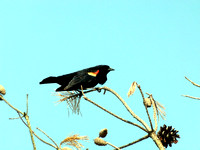 Black Bird Singing