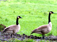 Geese and Lings (10)