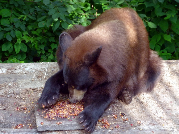 Bear at Lunch