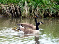 Geese and Lings (4)